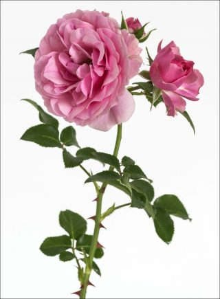 Rose Leonardo da Vinci, photo, Pierre Joseph